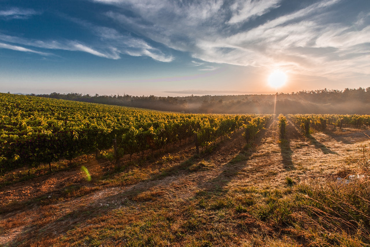 Vineyard by sunset